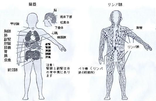 血行・リンパ、解毒の促進のための臓器位置図